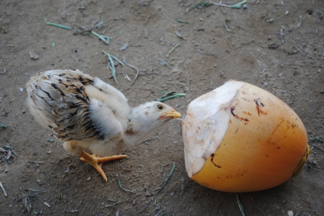 Chicken enjoying a discarded coconut
