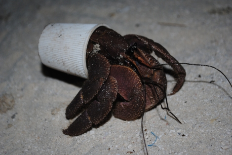 A Hermit Crab adapts to the growning trash problem in Wakatobi