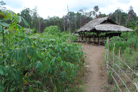Cassava Grows Outside a Hut in the Village of Wawosolo