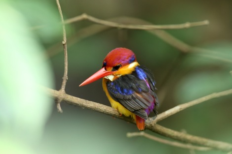 Dwarf Kingfisher (courtesy Nirjhar Das)