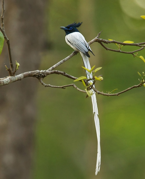 A Paradise Flycatcher (courtesy of Nirjhar Das)